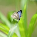 Celastrina lavendularis 薰衣琉璃灰蝶