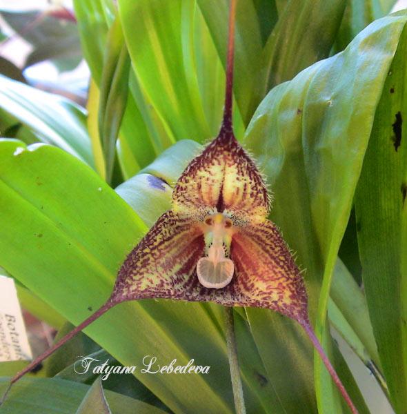 Растения из Тюмени. Краткий обзор - Страница 3 Dracula-pubescens-1