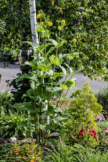 Silphium perfoliatum et Silphium integrifolium Silphium-perfoliatum-130802-68rm