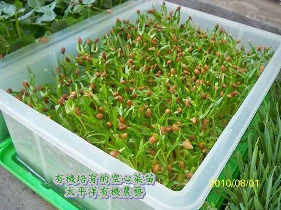 有機空心菜芽菜苗 有機芽菜 養生