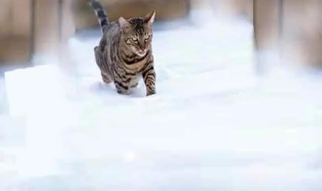 chat du bengal : Les Chats Du Bengale Ressentent - Ils Le Froid?