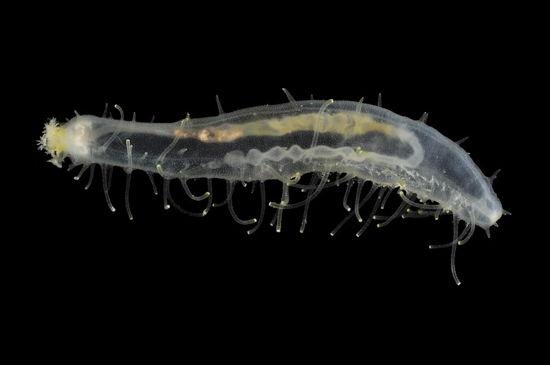 Juvenile Labidodemas from Madang, Papua New Guinea #seacucumber    #photography    #macrophotography   #invertebrate