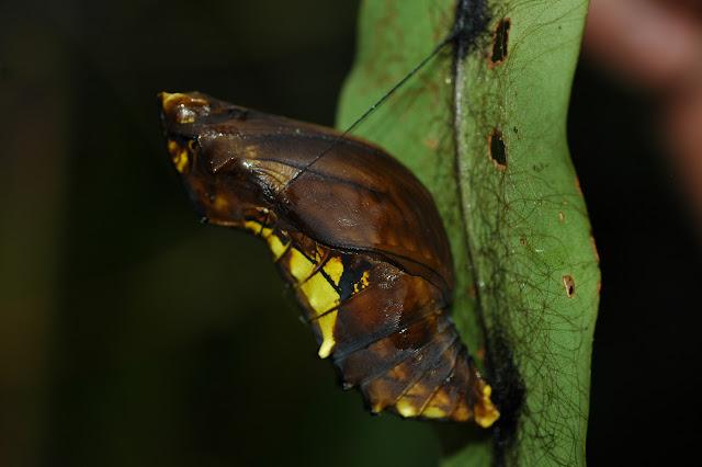 Chrysalide d'Ornithoptera tithonus. Mokwam, Arfak, 21 août 2007. Photo : G. Zakine