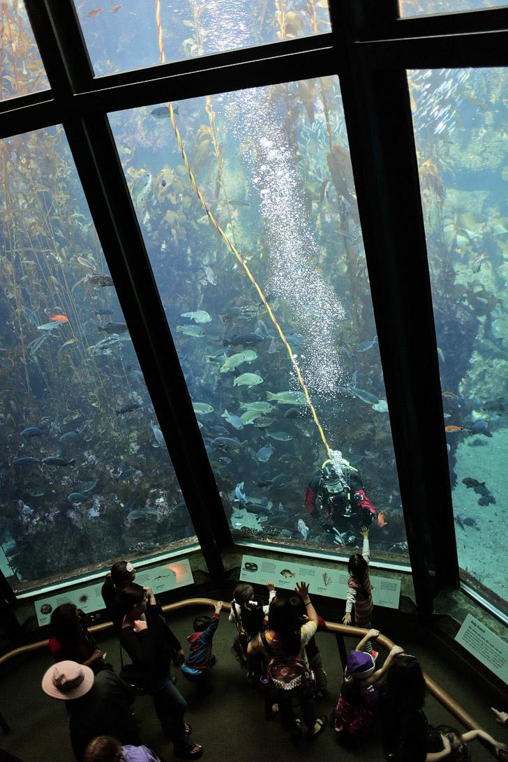 Kelp Forest Monterey California Aquarium.