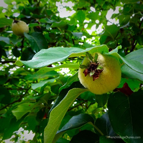 French Village Diaries Yellow July #TDF2017 quince