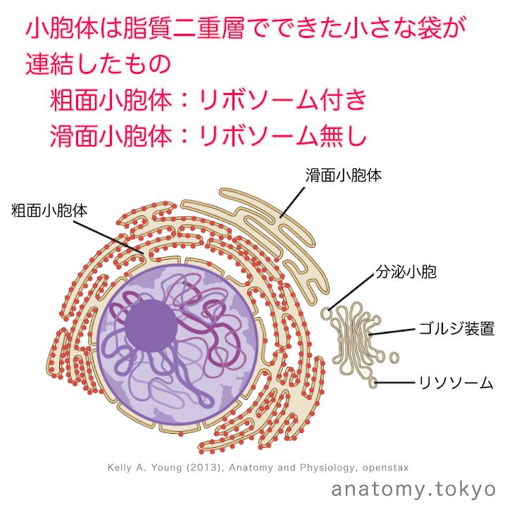 t111-17-小胞体は粗面小胞体と滑面小胞体の2種がある.png
