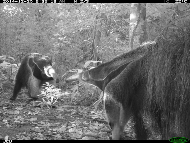 Giant anteaters in a plantation in Colombia. Photo: James Cook University
