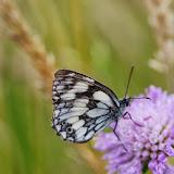 Melanargia galathea (L., 1758), mâle. Les Hautes-Lisières (Rouvres, 28), 16 juillet 2013. Photo : J.-M. Gayman