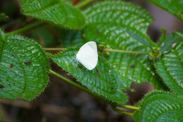 Eurema albula CRAMER, 1775. Saül (Guyane). 30 novembre 2011. Photo : J.-M. Gayman
