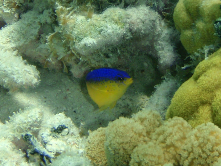 Stegastes leucostictus (Beaugregory Damselfish) near Tranquility Bay Resort.
