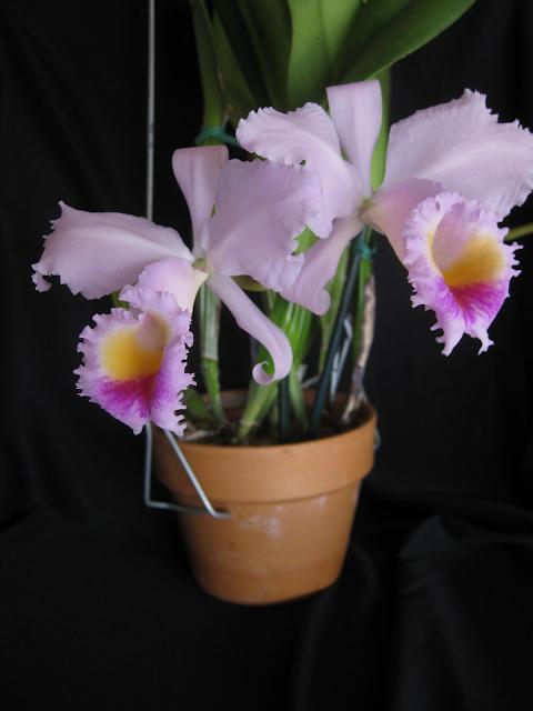 Растения из Тюмени. Краткий обзор - Страница 2 Ca.%252520schroederae1