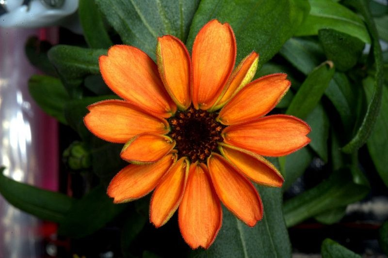space-zinnia-blooms-2