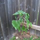 Gardening 2010 - 101_1589.JPG