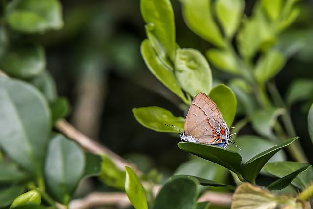 Calycopis johnsoni (Salazar, 2000) ?. Fundo Palmarito, 265 m (Casanare, Colombie), 8 novembre 2015. Photo : B. Lalanne-Cassou