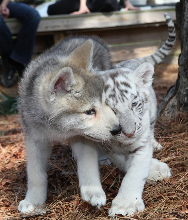 What's the cutest baby animal? Dog? Cat? Tiger?