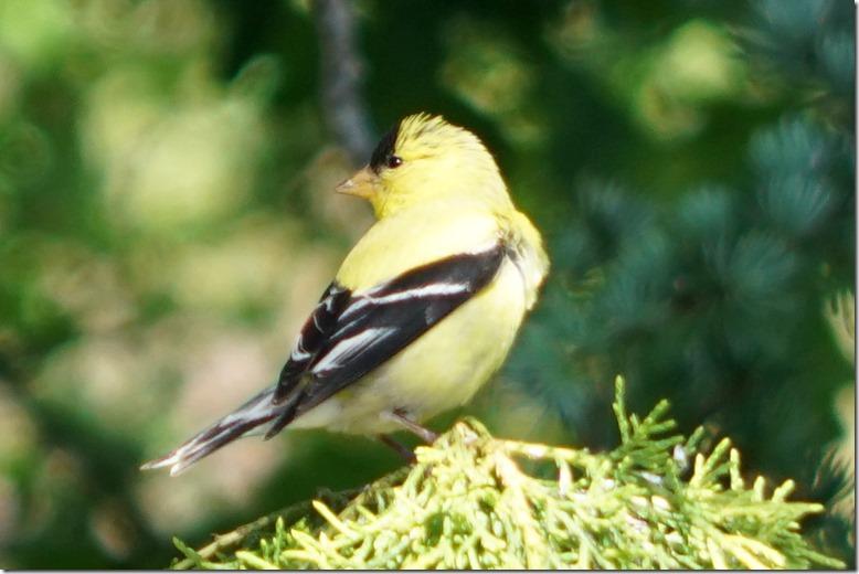 lopez goldfinch 053018 00000