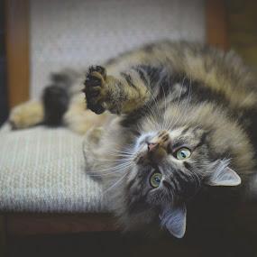 Fluffy cat by Eglė Eglė - Animals - Cats Portraits ( cat, fluffy, green eyes )
