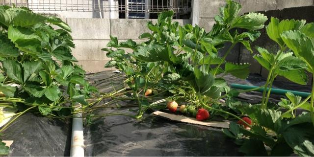 家庭菜園のイチゴ畑