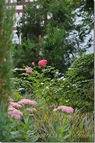 Strauchrose Rosarium Uetersen