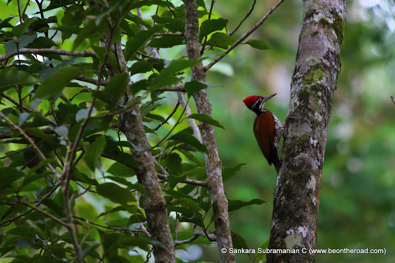 Black Rumped Flameback (Lesser Golden-Backed) Woodpecker at Valparai - 1