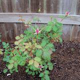 Gardening 2010 - 101_0520.JPG