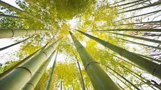 Bamboo, Kamakura, Japan.jpg
