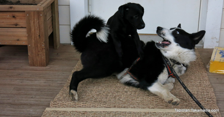 labradorinnooutajan pentu painii