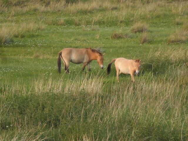 Tahki paarden (Prezewalski paarden).