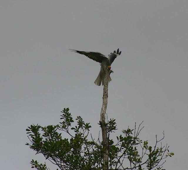 Busard Saint-Martin, mâle : Circus cyaneus (Linnaeus, 1766). Les Hautes-Lisières (Rouvres, 28), 13 juin 2011. Photo : J.-M. Gayman