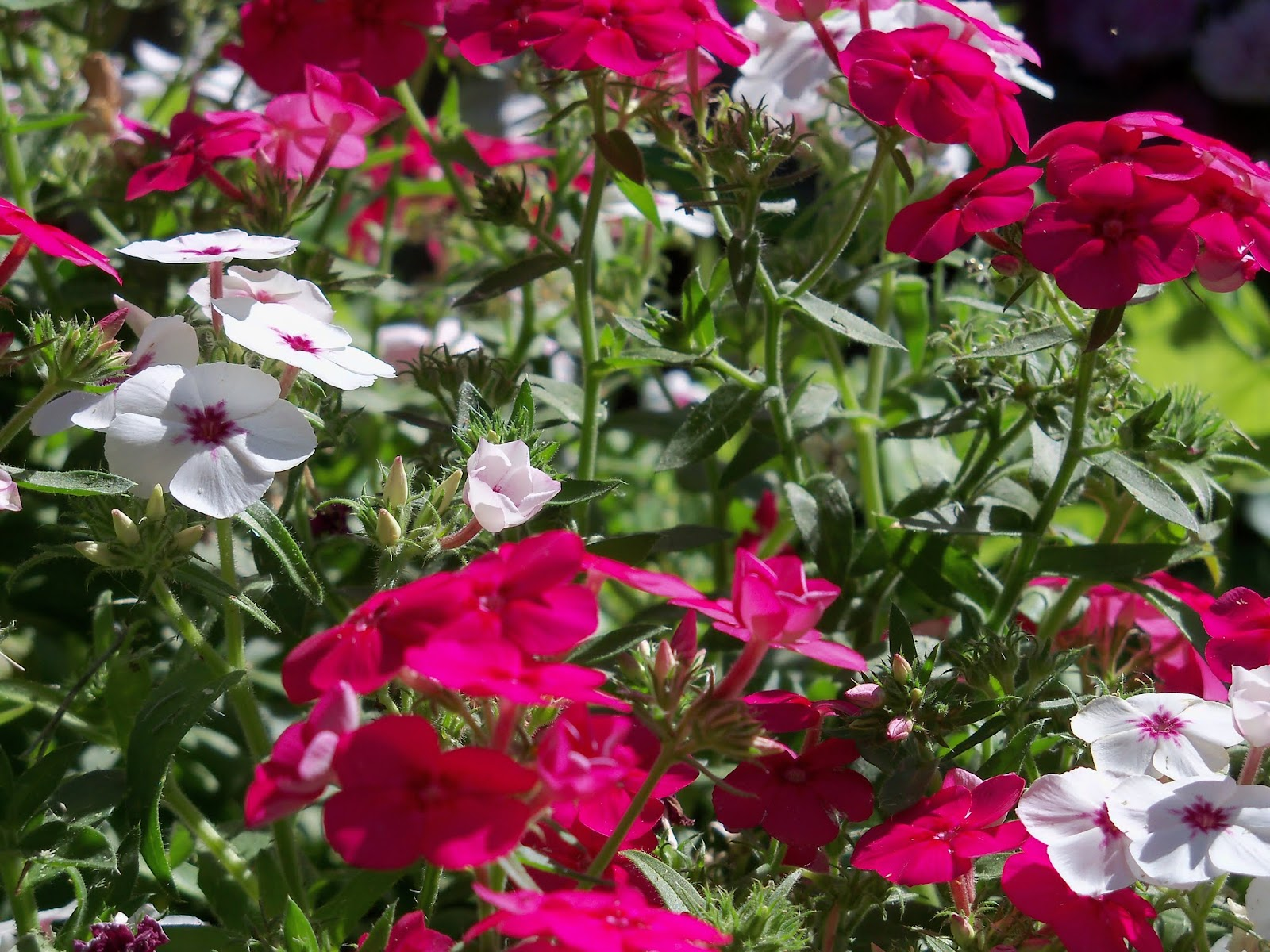 Gardening 2013 - 115_6223.JPG