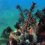 Harlequin ghost pipefish (Cabilao)