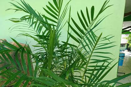 Palem Bambu (Chamaedorea Seifrizii)