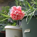 Gardening 2012 - IMG_3766.JPG