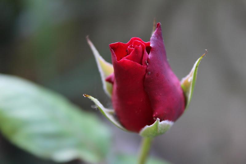 Nascita di una rosa di Michael Gere