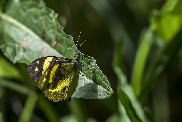 Dismorphia medora medora (E. Doubleday, 1844). La Minga, Choachi, 2330 m (Cundinamarca, Colombie), 11 novembre 2015. Photo : B. Lalanne-Cassou