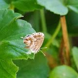 Cacyreus marshalli (BUTLER, 1898). Aix-en-Provence (13, France), 31 juillet 2014. Photo : J.-M. Gayman