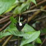 Neorina lowii lowii DOUBLEDAY, 1849. Lot n°2, Sukau (Sabah, Malaisie), 13 août 2011). Photo : J.-M. Gayman