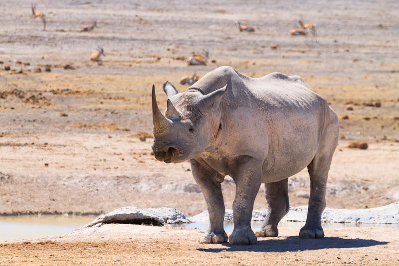 Black Rhino, Ethosha