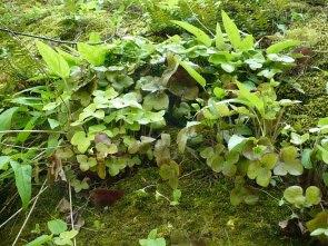 Przylaszczka pospolita liście Hepatica nobilis leaves