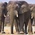 Kebbi Hosts Three Stray Elephants