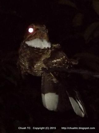 A Night Shot Of Large-Tailed Nightjar