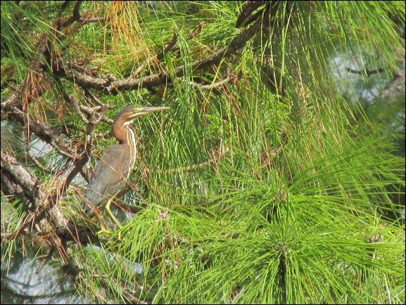 Green Heron Bird (2)