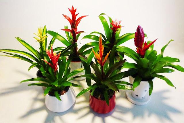 Bromelias plantas interior hogar oficina