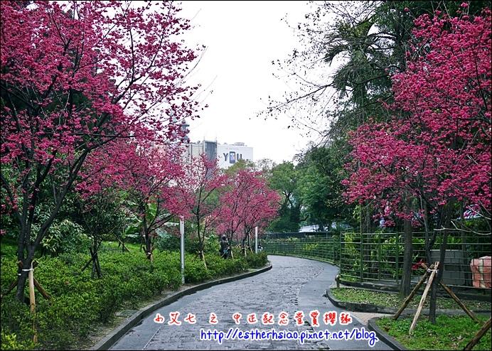 72 中正紀念堂櫻花