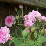 Gardening 2015 - 116_9413.JPG