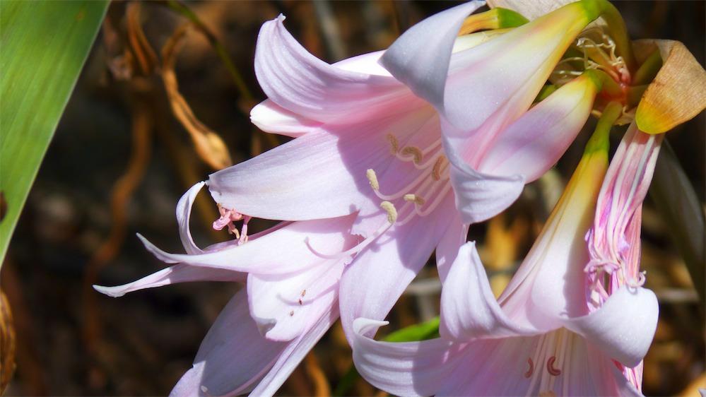 Belladonna Lilies.jpg