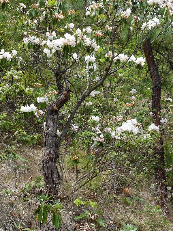 des forêts de rhododendron