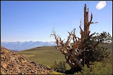 """Ancient Bristlecone Pine"" by Sita Thompson -- 1st place B special"