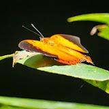 Charaxes bernardus repetitus Butler, 1896. Poring, Taman Negara Gunung Kinabalu, Sabah (Malaisie), 9 août 2014. Photo : T. Boucher