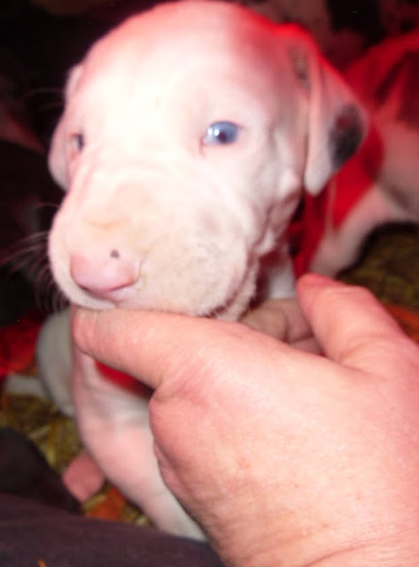 Harrigan's blue-eyed white male @ 4 weeks
